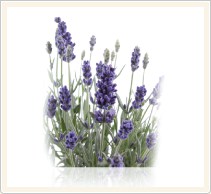 lavender oil extraction